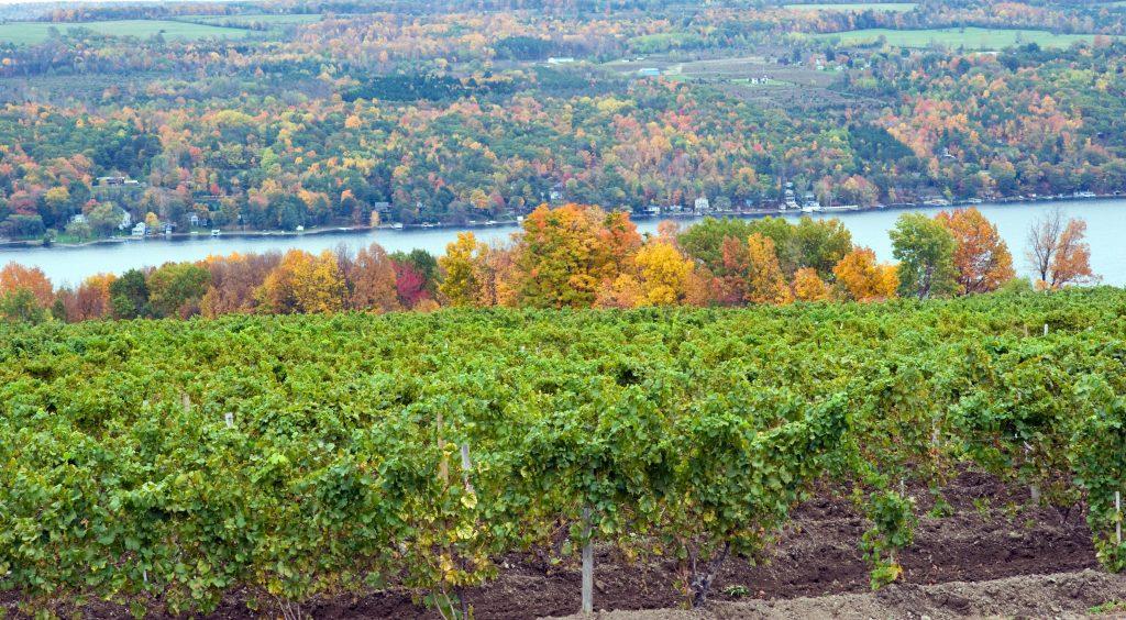 Vineyard on Keuka Lake