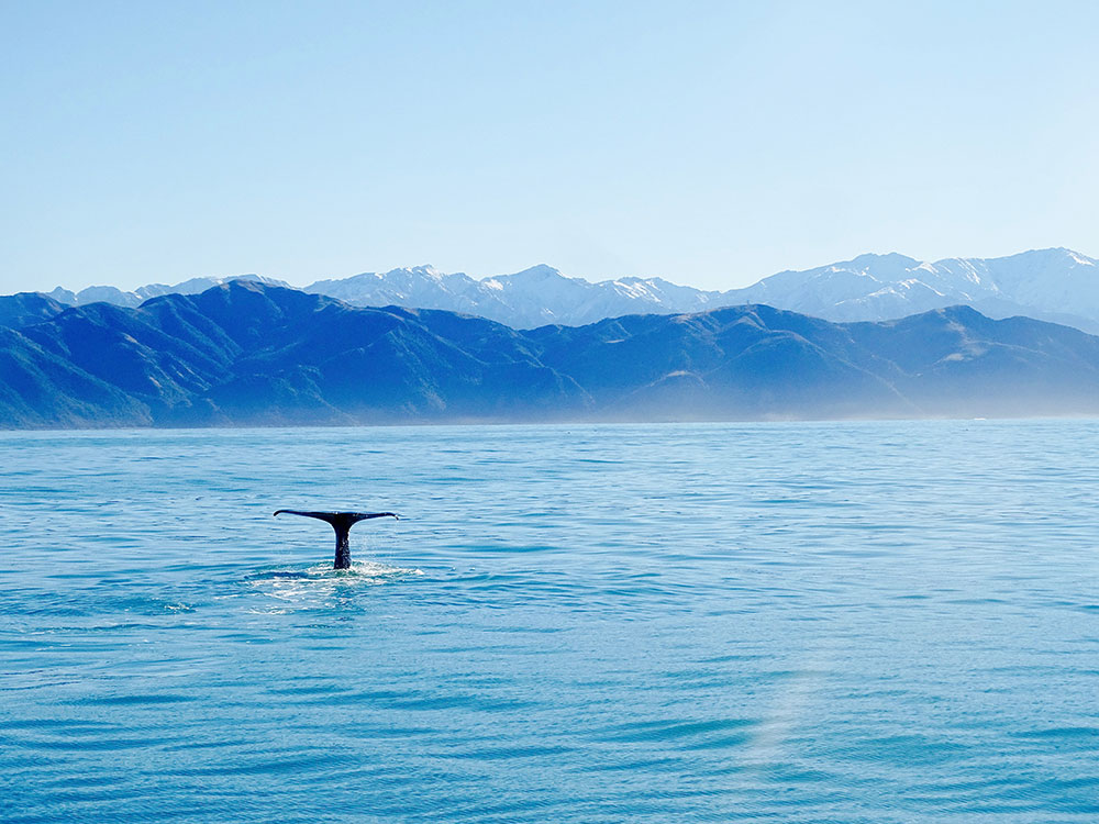 Watch Whales and Dolphins in New Zealand