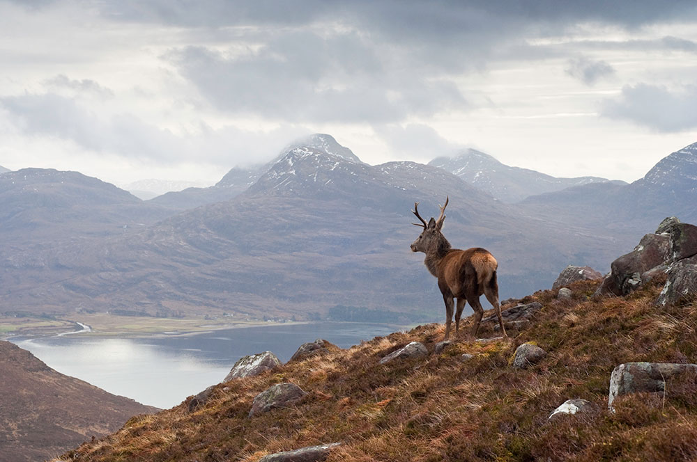 Wild stag, Scottish highlands