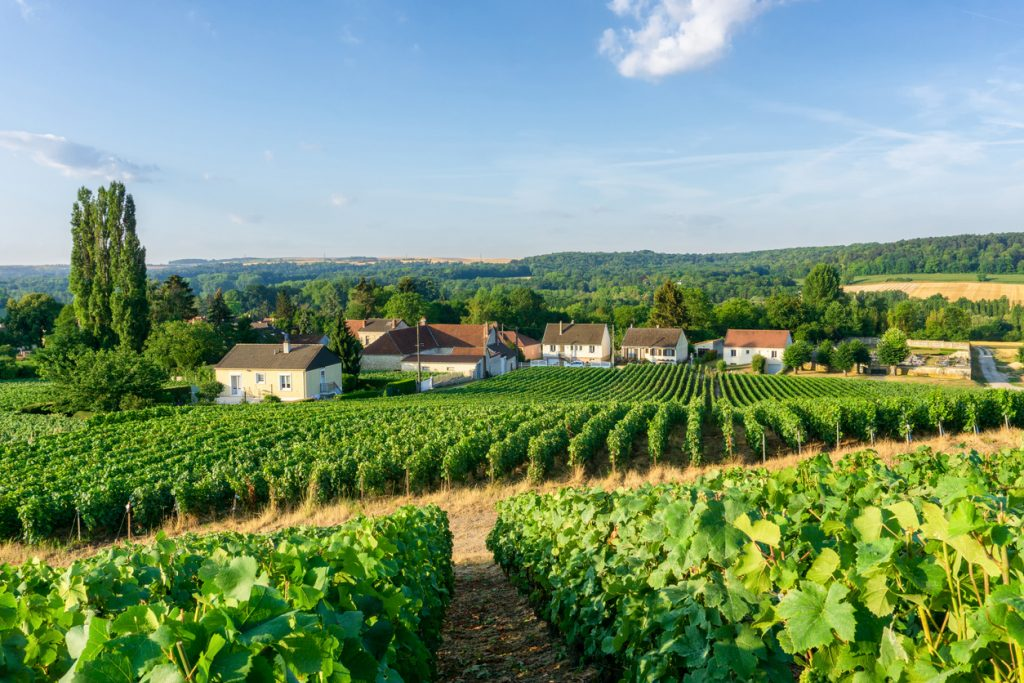 Row of vine grapes in champagne vineyards at Montagne de Reims countryside village