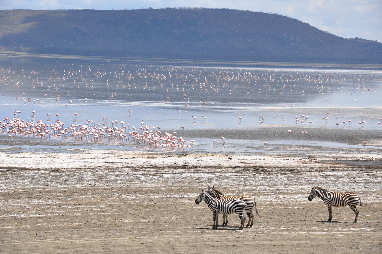 Flamingos and zebras on Lake Naivasha, Kenya