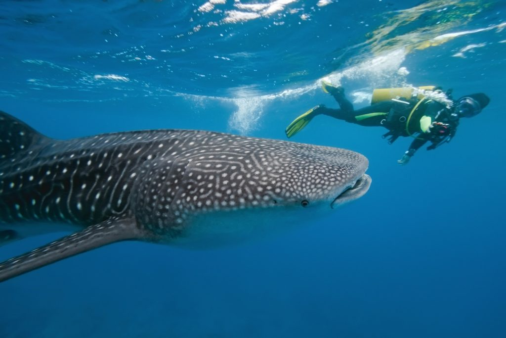 Scuba Diving with a Whale Shark in the Maldives