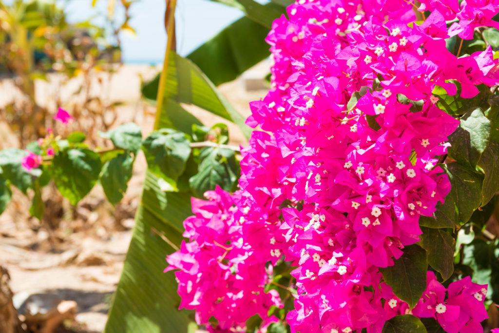 Branch of pink bougainvillaea in tropical garden in Tenerife