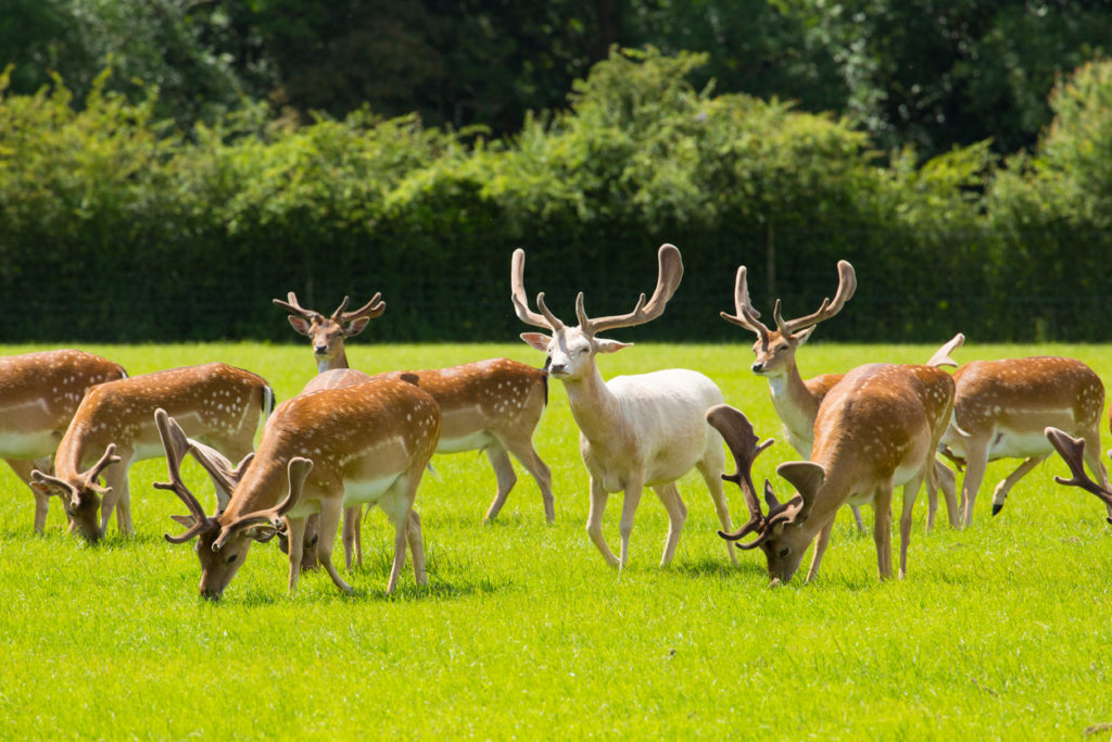 New Forest wild deer red and white near Lyndhurst