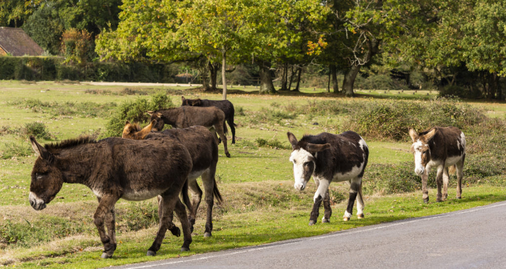 Donkeys on the move and walking down the road in National Park New Forest.