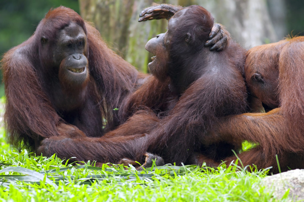 Adult Orangutans in the jungle in Borneo, Malaysia