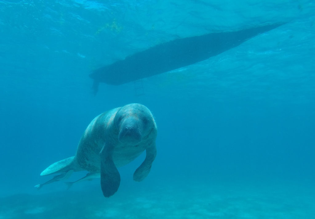 Antillean manatee in front of a boat in Belize