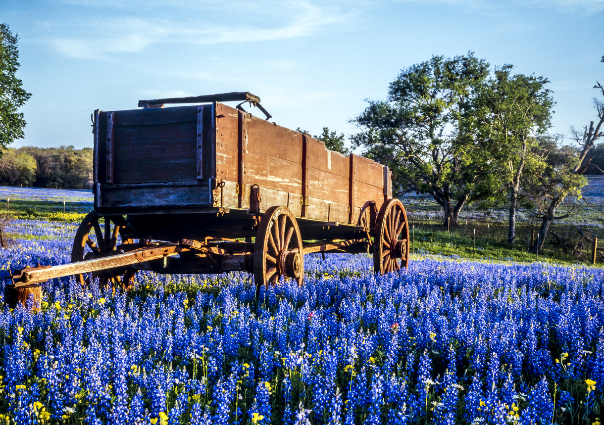 Wagon in field of bluebonnets in the Texas hill country