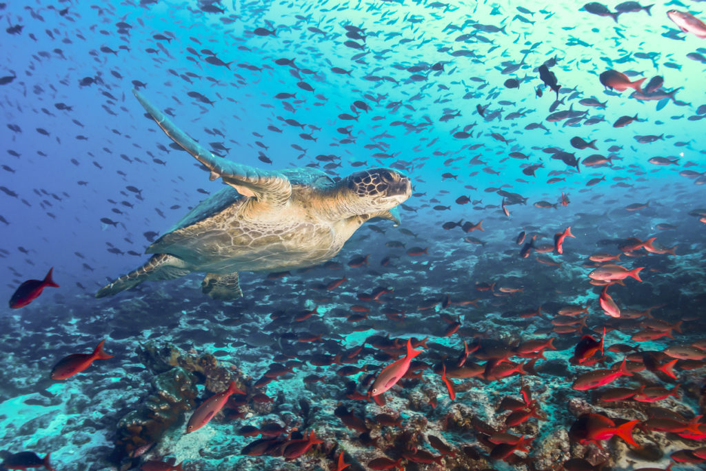 Turtle swimming across a school of fish in Galapagos