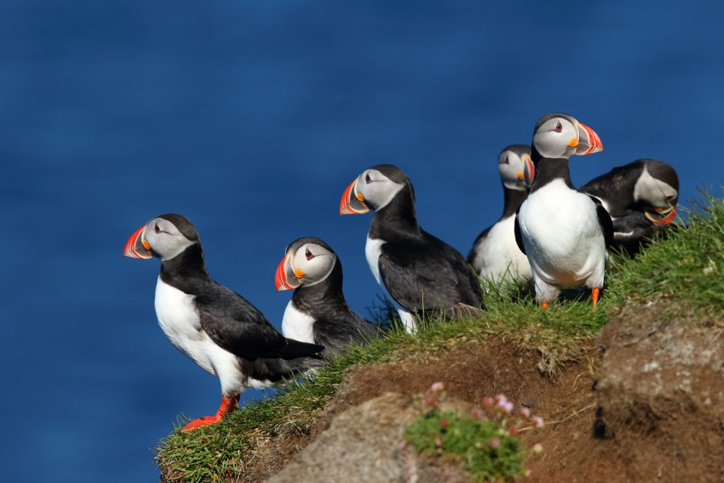 Group of puffins in Latrabjarg cliffs in Iceland with the ocean in the background