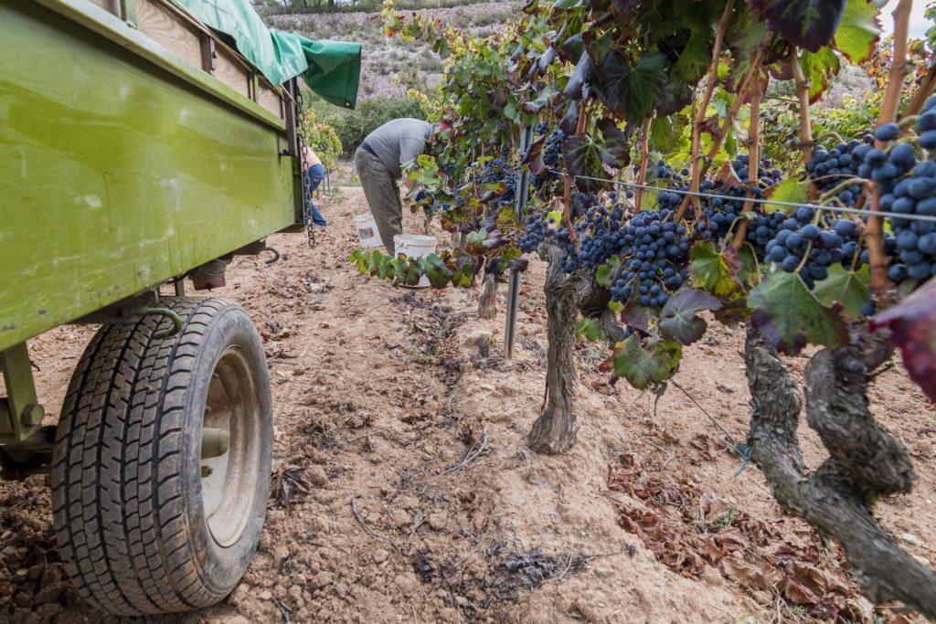 Hand picking of red grapes during harvesting season at Priorat wine making region
