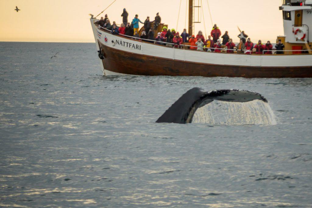 Whale watching, near Husavik