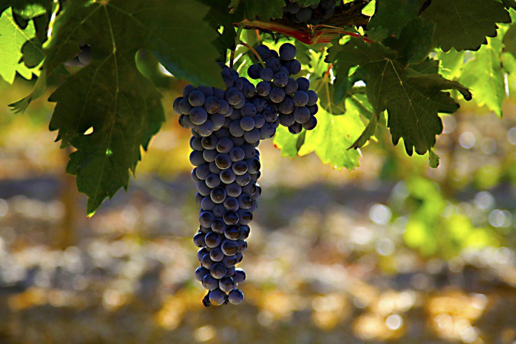 Wine Grapes Spain
