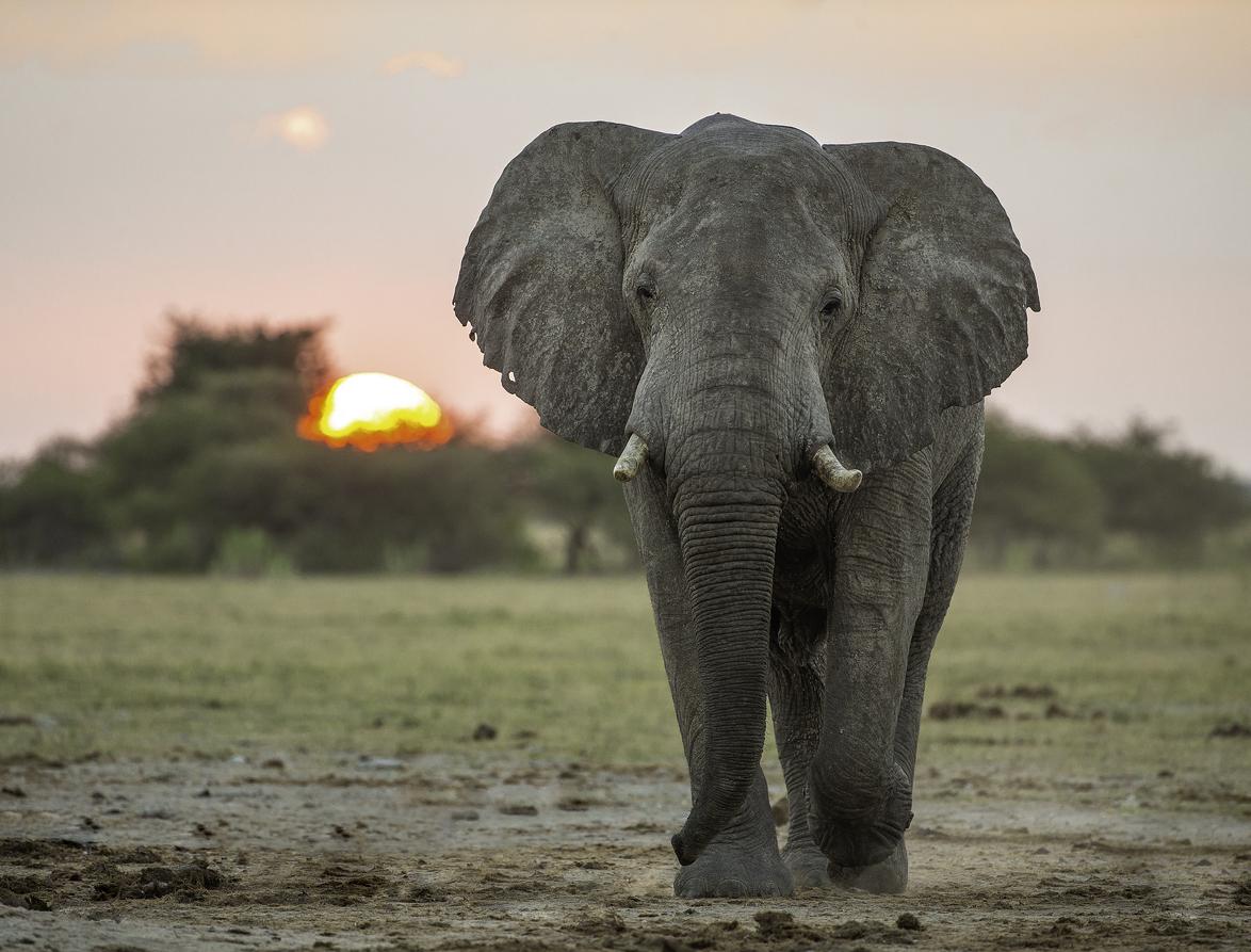 Elephant walking in Botswana