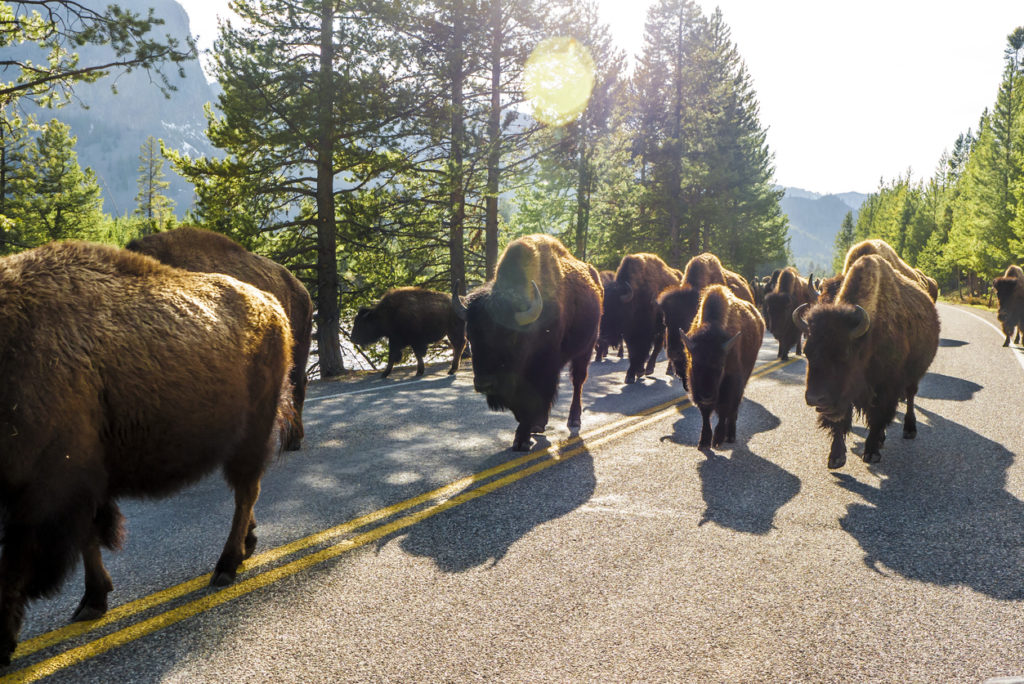 A herd of Bison walked freely in Yellowstone National Park