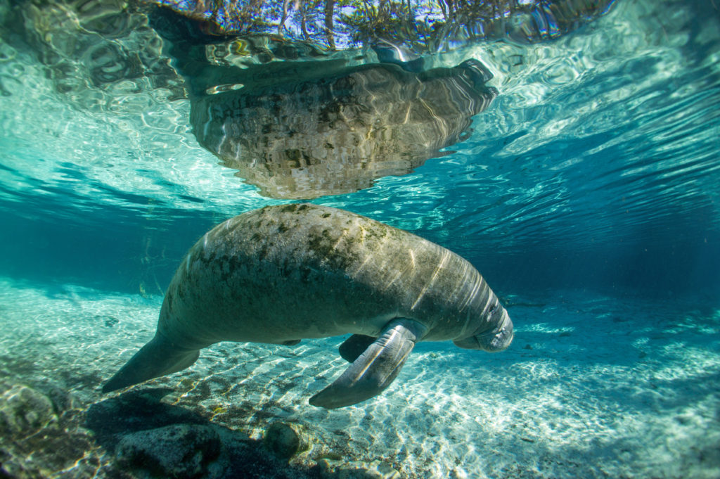 A Manatee in the Crystal River, Florida.