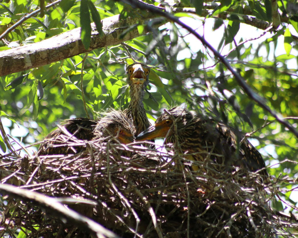 Baby black-crowned night herons in nest found in the Crystal River preserve area along the water.