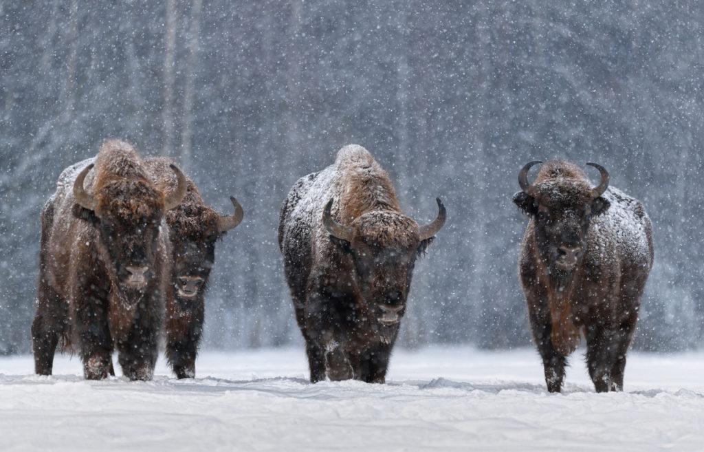 Bison Bonasus in Belarus