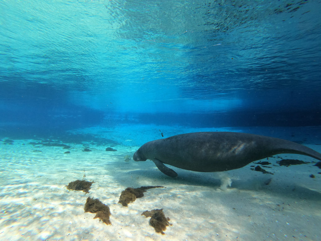 Manatee Swims Underwater in Crystal River