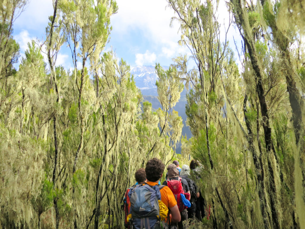 Mount Kilimanjaro hike through the high alpine forest on the Umbwe Route