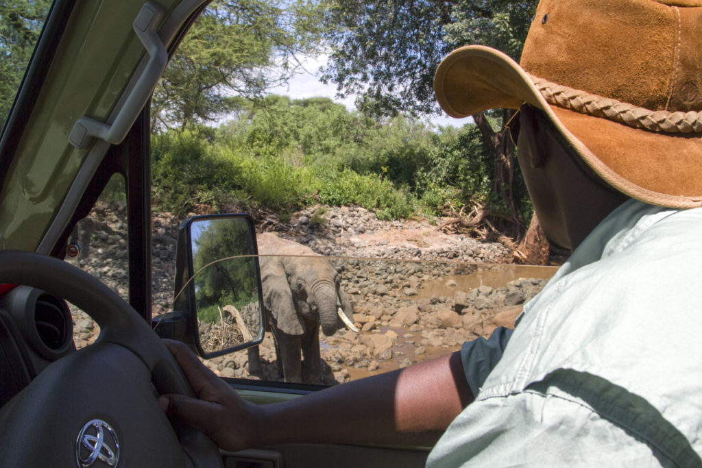 Safari guide looking at nearby elephant while drinking water.