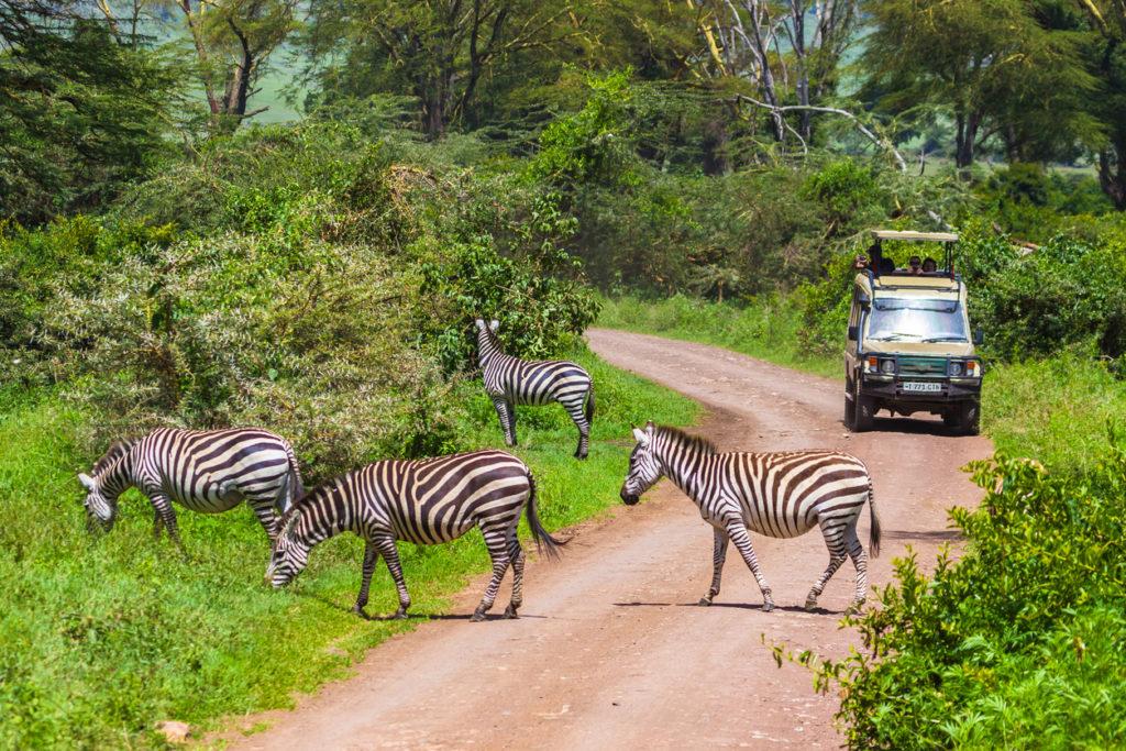 Wild zebras in Ngorongoro Crater Conservation area. Tanzania.