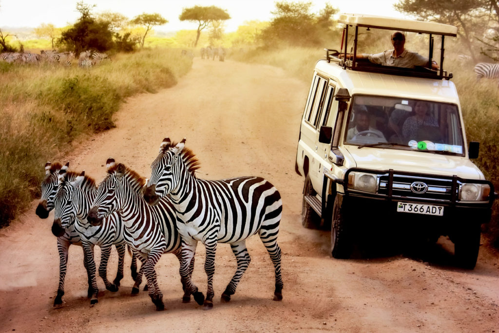 Zebras on the road in Serengeti national park