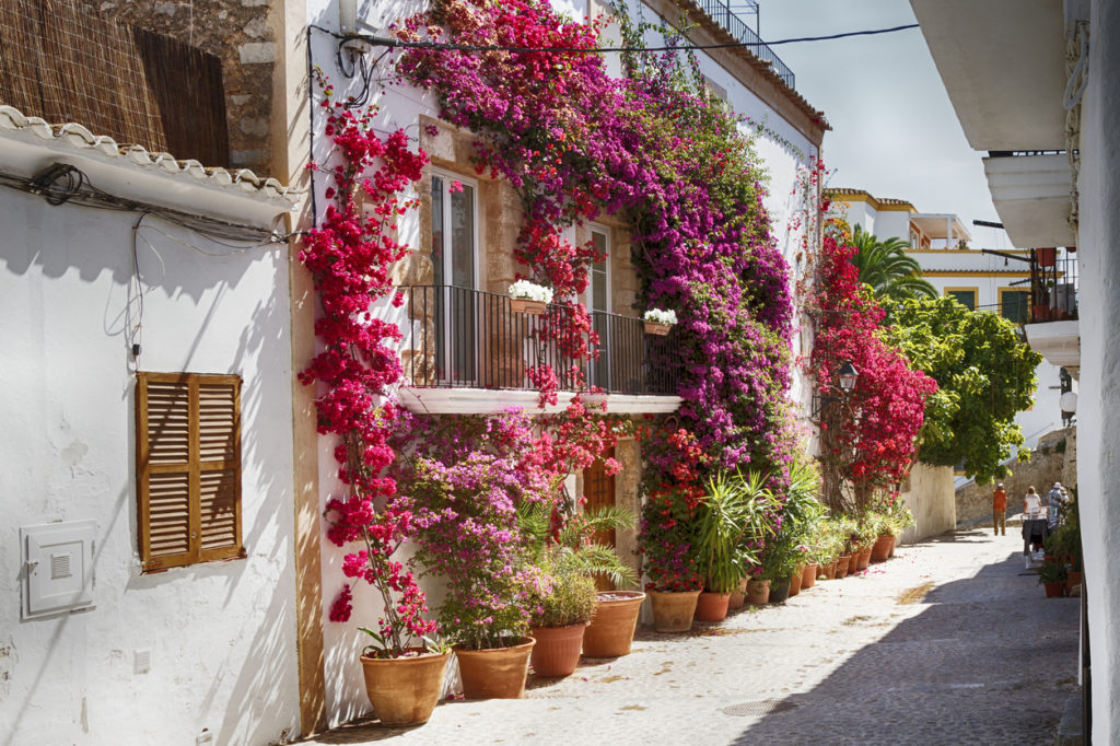 Bougainvillea in the streets of Ibiza