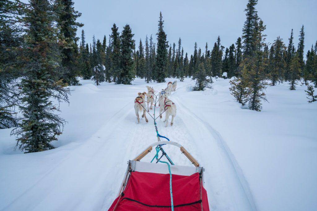 Experiencing Dog Sledding in the wild