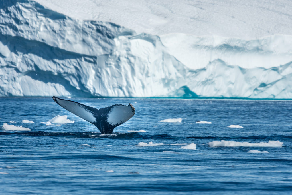 Humpback whale, Disko Bay, Greenland