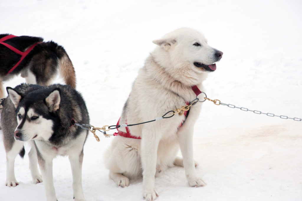 Husky sled dogs in the snow