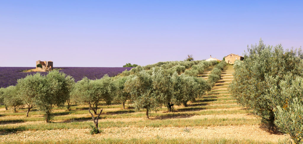 Provence olive trees and lavender field