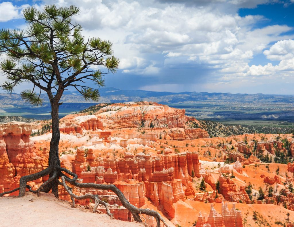 Forest Tree overlooking the Bryce Canyon of Utah