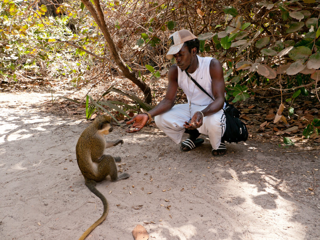 Man feeding a Green Velvet Monkey with peanuts