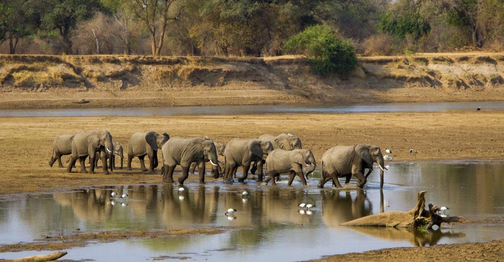 Elephant herd crossing river in Zambia