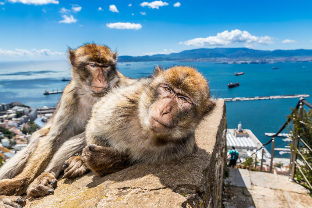 Macaques in Gibraltar