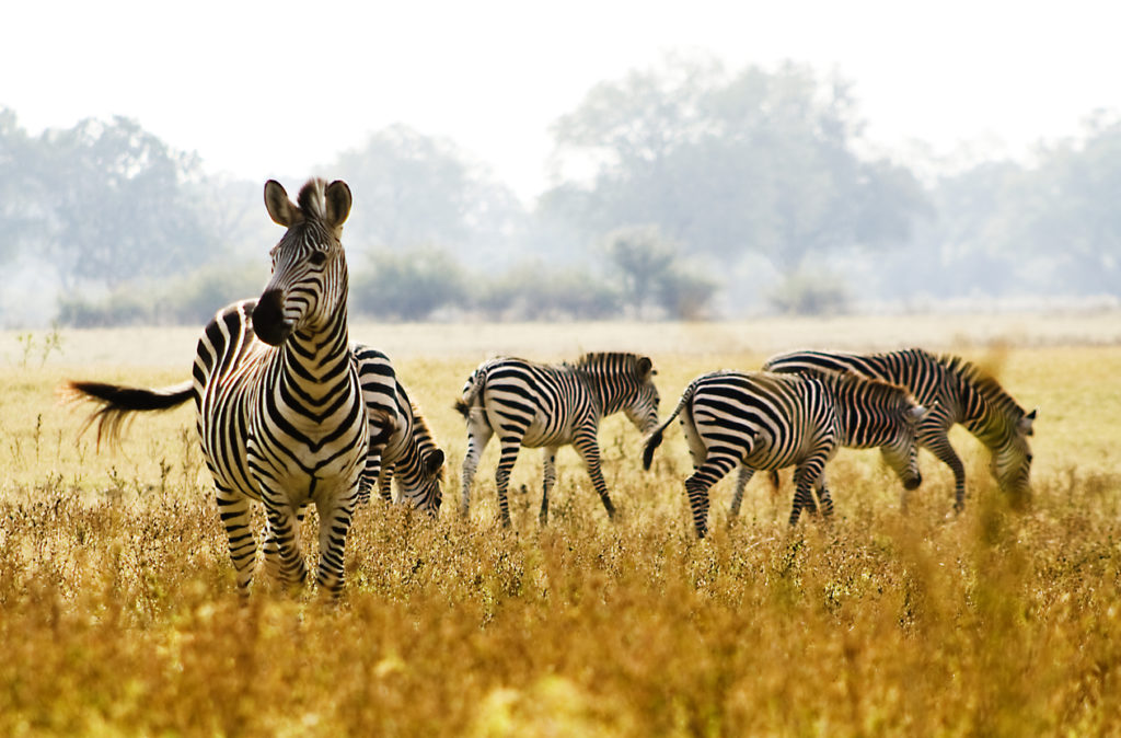 Male Zebra Protecting his herd in Zambia