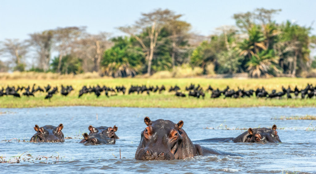 The common hippopotamus in the Zambezi River